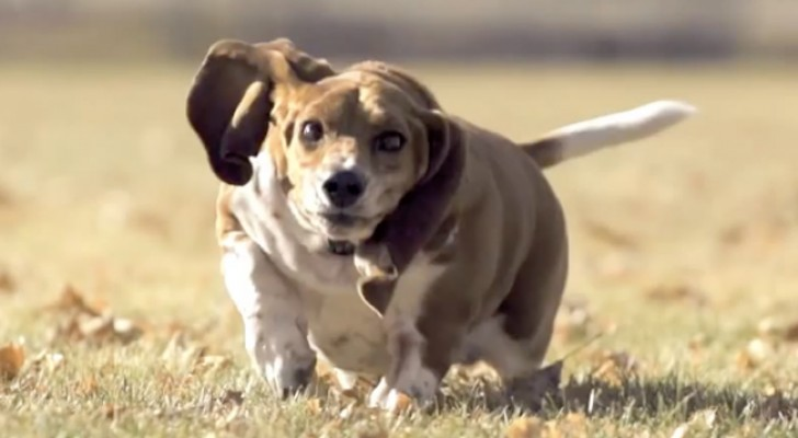 Spectaculaire rennende Basset Hound... in slow-motion!