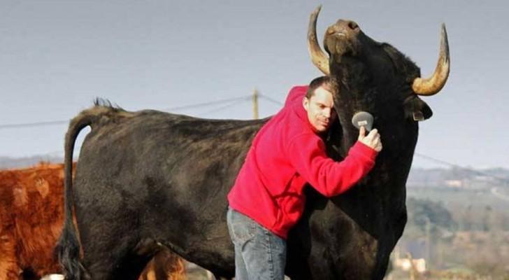 Il y a des années, il a sauvé un taureau de la corrida: leur amitié dépasse l'entendement