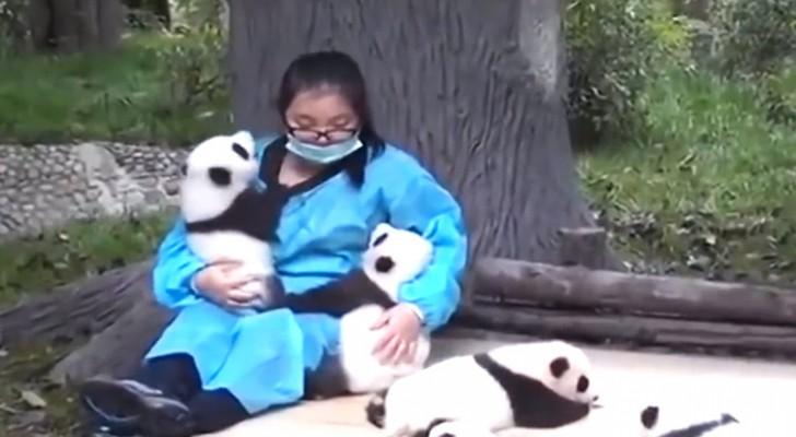 De manier waarop deze panda's zich gedragen is schattig... zijn het niet net baby's?