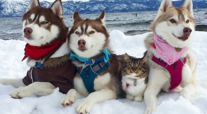 3 husky's hebben een kitten gered van een wisse dood... Vandaag de dag zijn deze vrienden ONAFSCHEIDELIJK