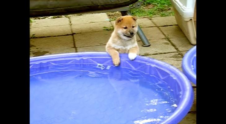 Een pup staat aan de rand van een zwembad vol met water... de manier waarop hij speelt is aandoenlijk!