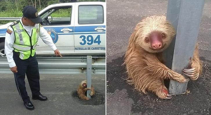 Les agents arrivent pour sauver un bradype... qui les remercie avec un sourire irrésistible