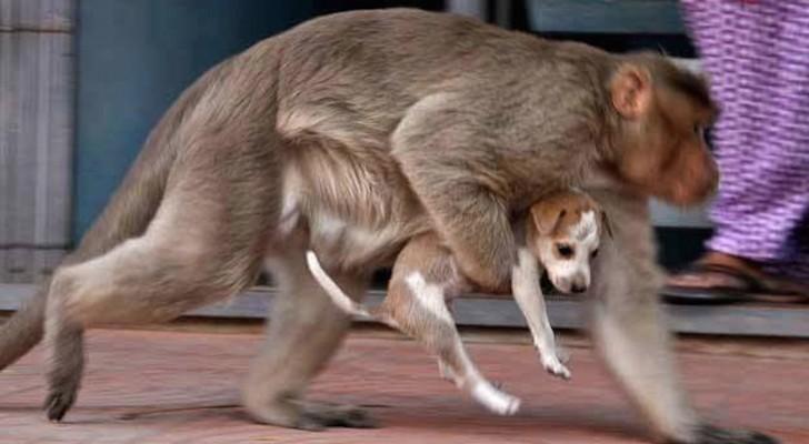 Una scimmia afferra un cucciolo: le sue intenzioni spiazzano i passanti