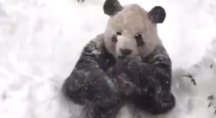 De manier waarop deze reuzenpanda reageert op sneeuw is fantastisch!