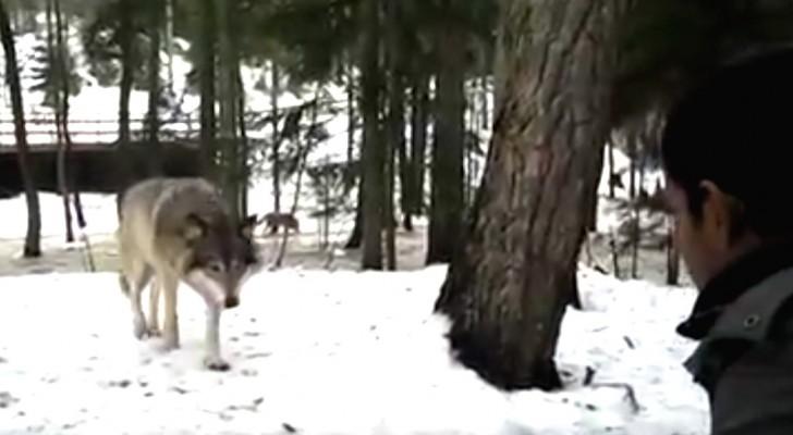 Un lupo si avvicina ad un uomo... Il suo comportamento lo lascia del tutto confuso