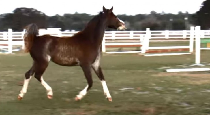 This Arabian filly dreams of becoming a dancer. Her movements are lovely and mesmerizing!