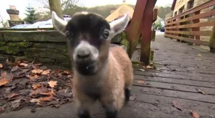 Een geit heeft één van haar twee jongen verworpen... maar gelukkig werd het geitje al snel geadopteerd