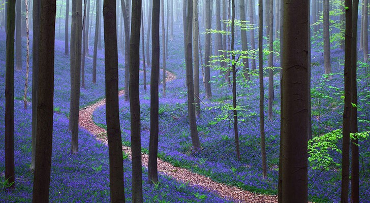 Elk jaar vindt er in de lente een adembenemende show plaats in dit Belgische bos