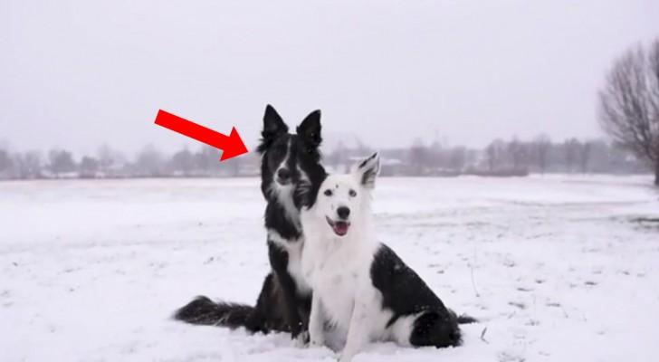 Dois cães fazem pose para uma fotografia... O pretinho vai deixar a foto inesquecível!