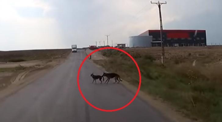 Une voiture ne fait pas attention aux deux chiens sur la route: ce que fait l'un deux est surprenant