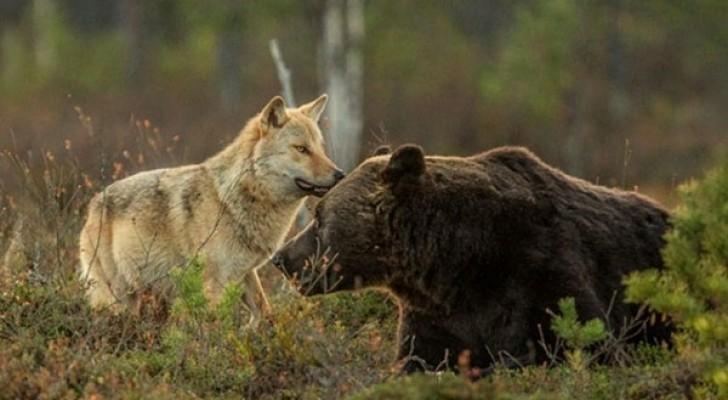 10 dagen lang volgde een fotograaf een wolf en een beer: hij kon zijn ogen niet geloven!