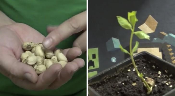 Voici comment faire germer les pistaches du supermarché pour avoir votre propre arbre