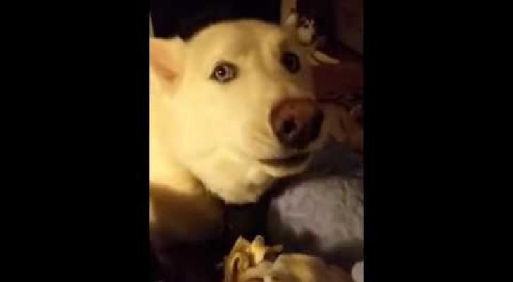 Un husky comienza a cantar con el patron, pero poco despues llega un GRAN FINAL