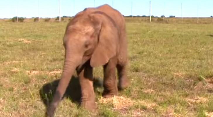 Un elefante viene abbandonato dalla madre, ma qualcun altro prende il suo posto...