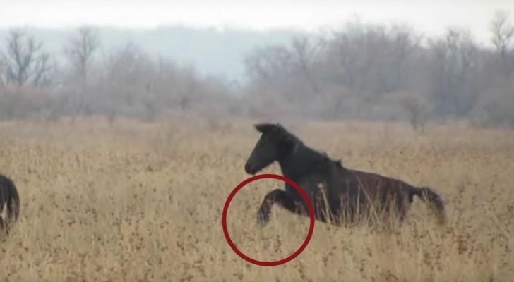 De voorbenen van dit paard zijn vastgebonden, waardoor hij niet kan galopperen: hier zie je hoe het dier wordt gered