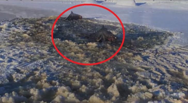 2 cavalli sono intrappolati nel ghiaccio fino al collo: 30 pompieri cercano di salvarli