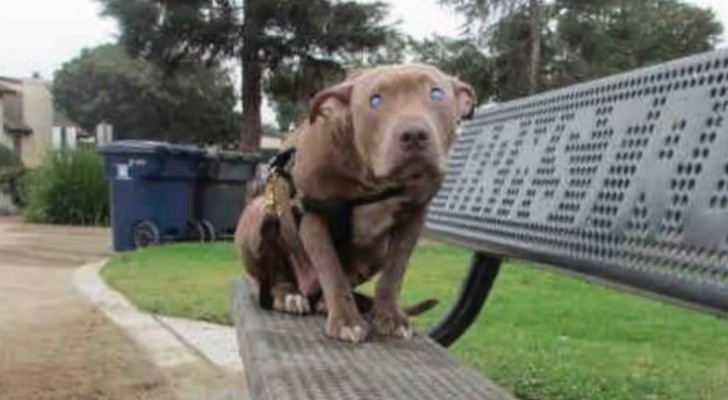 A blind pit bull is abandoned on a park bench -- But luckily someone notices her!