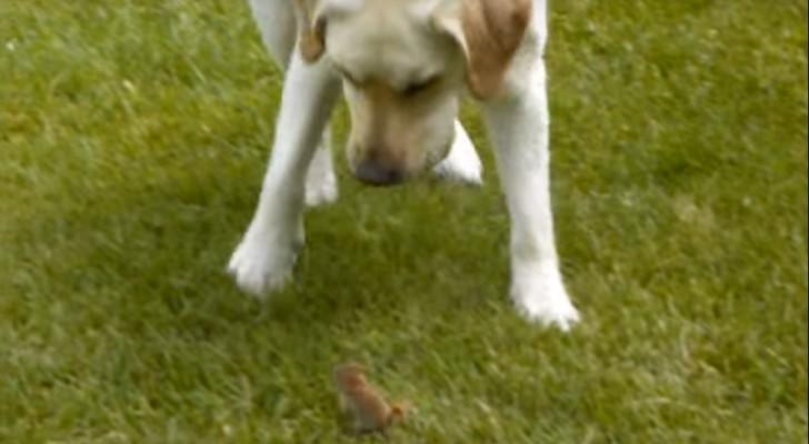 Tijdens het spelen ontdekt deze labrador een klein speelkameraadje... Dit is liefde op het eerste gezicht!