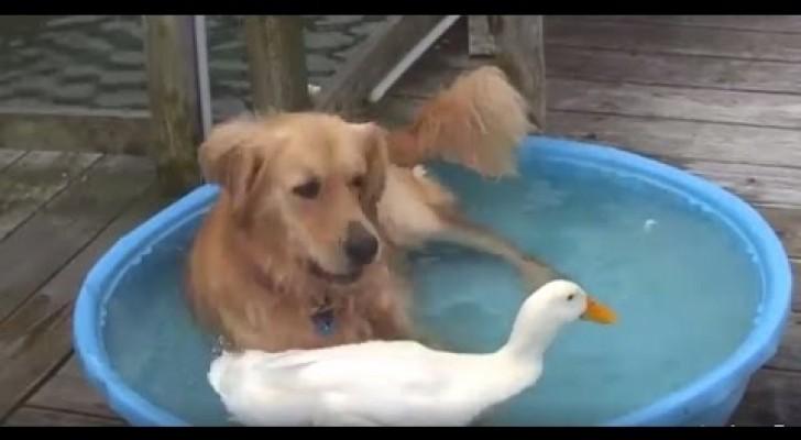Een hond en een eend delen een zwembadje: deze twee dieren zijn zo schattig samen!