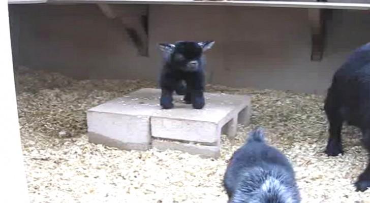 Dit jonge geitje kan amper lopen: zijn sprongen zijn echter spectaculair
