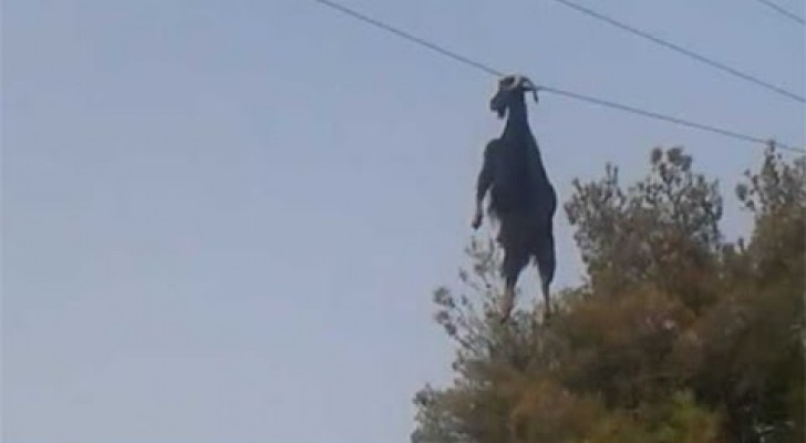 These men notice a goat HANGING IN THE AIR attached to a cable --- and here's how they rescue it!