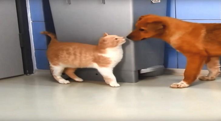 Twee kittens zijn gered van de straat en komen aan in een asiel... voor honden!