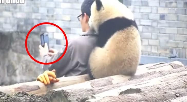 Hij probeert een selfie te nemen met een pandabeer: de reactie van het dier? Je zult versteld staan!