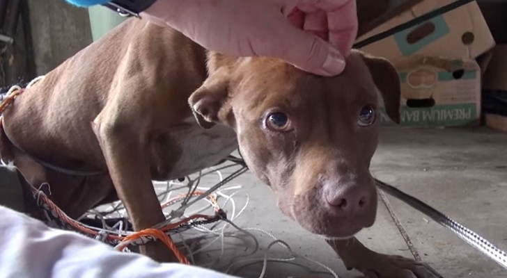 This female pit bull was very upset and would not calm down --- Until someone caressed her!