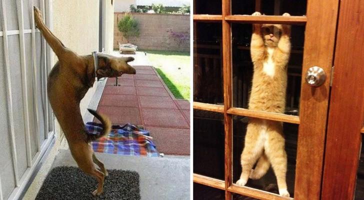 24 images hilarantes d'animaux qui veulent désespérément entrer à la maison