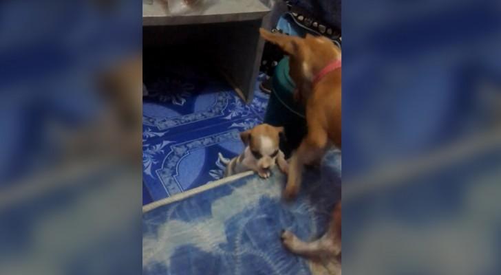 Ein Hund zeigt seinem Freund, wie man das Bett seiner Besitzer für sich in Anspruch nimmt. Süß!