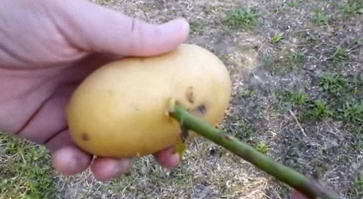 Det enklaste och naturligaste sättet att få en rosenbusken från en roskvist!