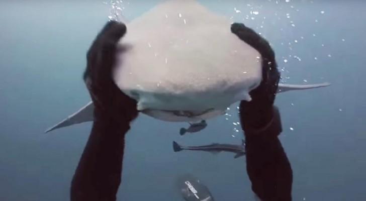 Un homme se retrouve face à face avec un requin ... Mais les intentions de l'animal va vous surprendre