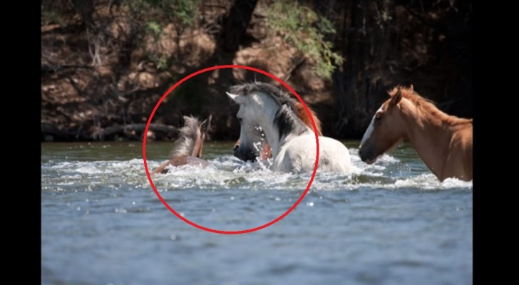 A filly is drowning in a river and the leader of the herd manages to save her by dragging her by her mane