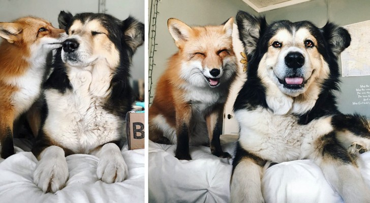 Adottano un cucciolo di volpe, ma il legame che stringe con il cane di casa è una vera sorpresa