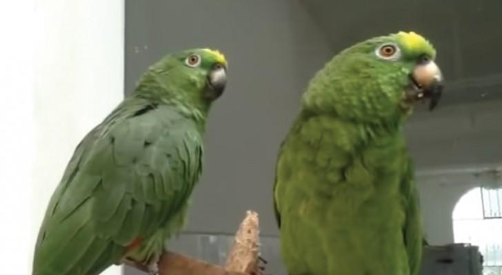 Deux perroquets chantent une chanson sacrée... leur harmonie dépasse l'entendement