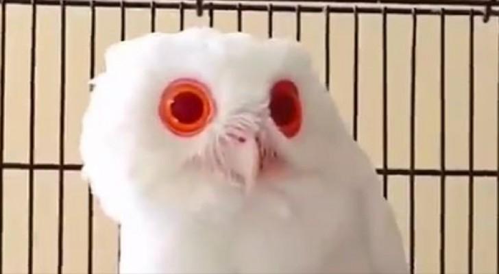 Ecco un raro esemplare di gufo albino: i suoi occhi sono uno spettacolo della natura
