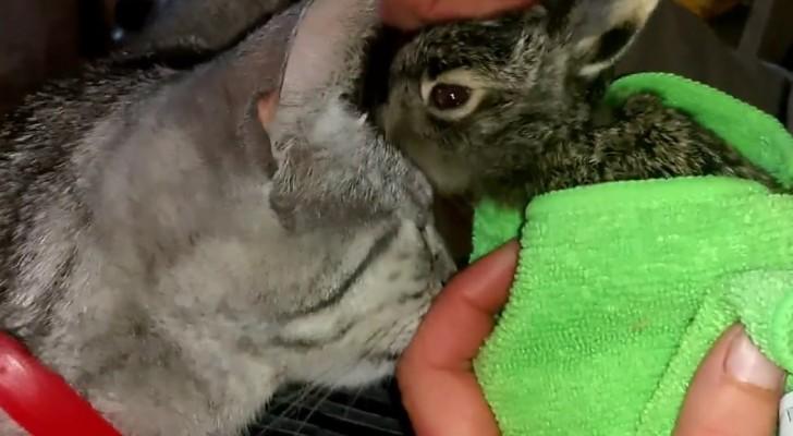 Portano a casa un piccolo di coniglio orfano, ma non si aspettavano che il gatto reagisse così!