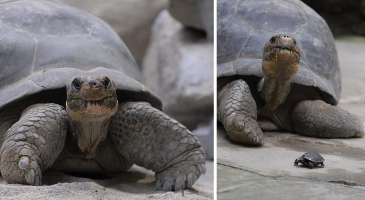 Ze werd moeder op haar 80ste: het verhaal van een schildpad die haar soort in stand wist te houden