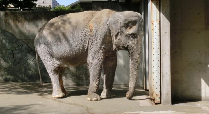 Era l'elefantessa più sola e triste del mondo: tutti dovrebbero conoscere la sua storia
