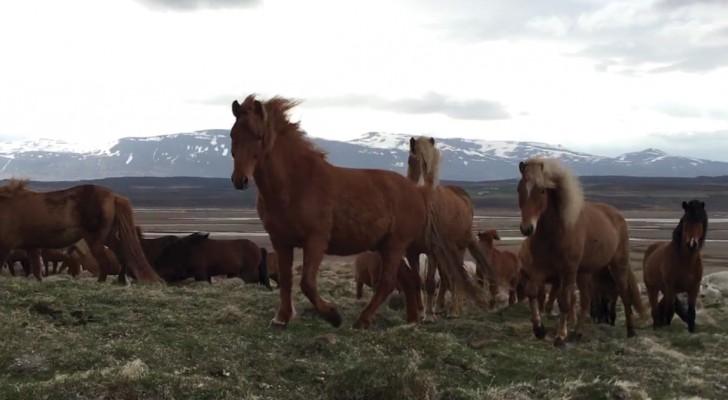 Un homme observe des chevaux sauvages, mais quand il tourne la caméra à droite... WOW !!!
