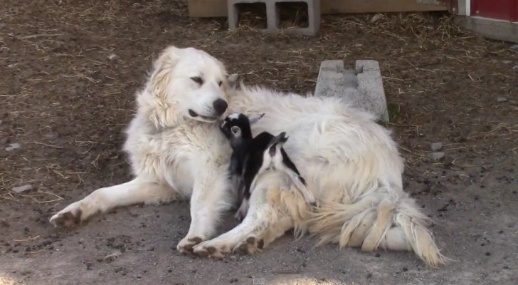 A shepherd dog and a kid goat get acquainted --- Their behavior will make you smile!