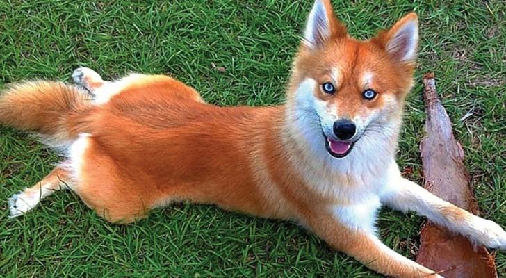 Cette chienne métisse a rendu le web complètement fou... en la regardant on comprend tout de suite pourquoi !