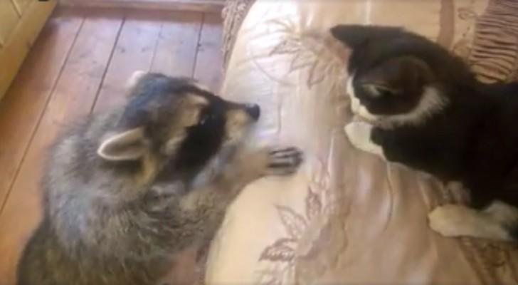 Een wasbeer probeert een kitten koste wat het kost te knuffelen... zijn inspanningen zijn hilarisch!