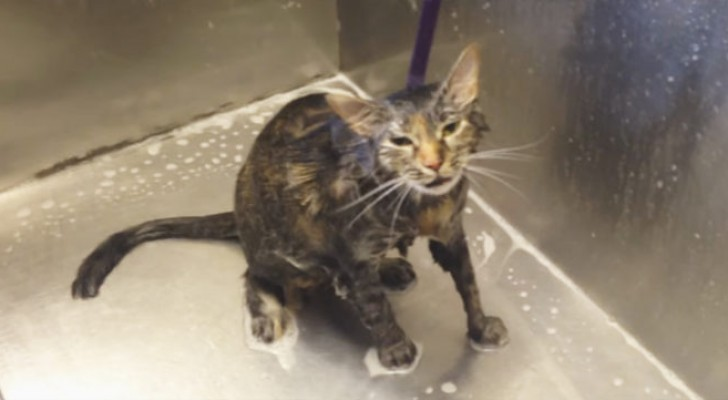 A woman is washing her cat --- And he says something that stuns her!