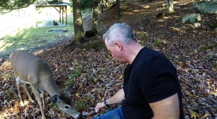 Een moedig hert nadert een man om uit zijn hand te eten... Wow!