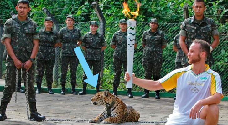 D'abord il l'utilise pour les photos, puis ils le tuent: la triste histoire du jaguar des Jeux Olympiques