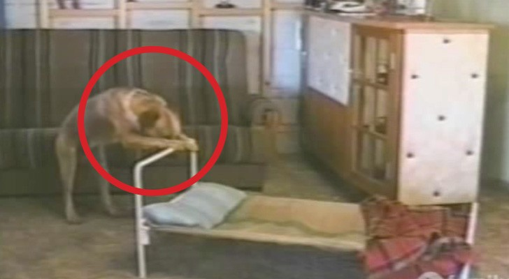 Das Ritual dieses Hundes vor dem Zubettgehen ist ein echter Brüller