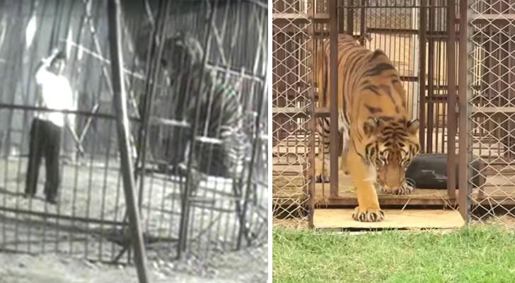 Depois de anos dentro de uma jaula, um tigre toca a grama pela primeira vez: a sua reação é emocionante!