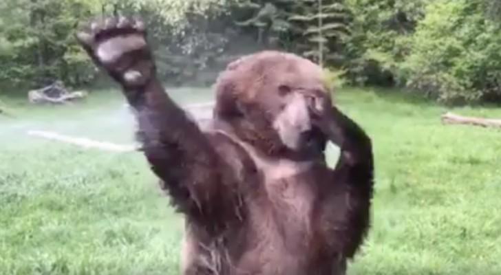 En björn träffar på en sprinkler i trädgården: det som följer är FANTASTISKT