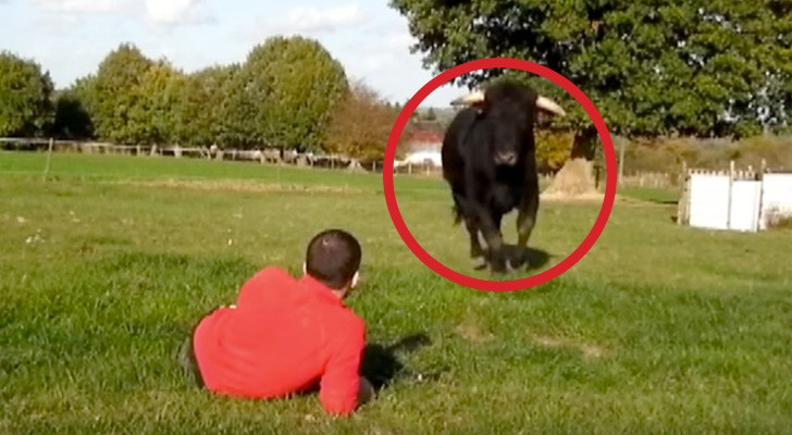 An ex-bullfighting bull runs towards a man --- what follows is beautiful!